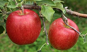 特産品のりんご