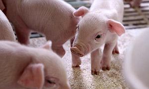アイコープ豚